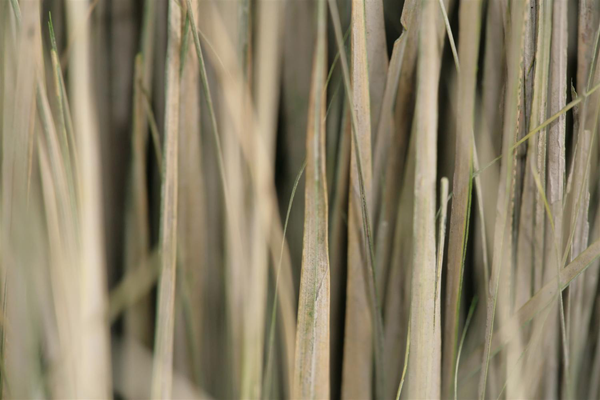 Dried grass texture with shallow depth of field